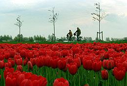 Campo de tulipanes de Bloembollenstreek, Países Bajos