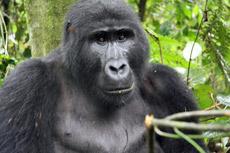 Gorila en la selva de Uganda. / Foto: F.L.S.