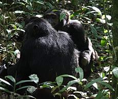 Pareja de chimpancés en Kibale. / Foto: F.L.S