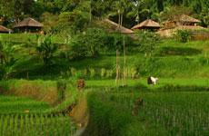 Terrazas de arrod en Ubud.